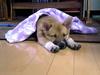 遊び疲れて眠る、こん