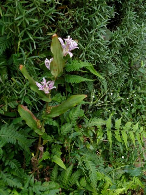 玄関先のホトトギスが咲いた