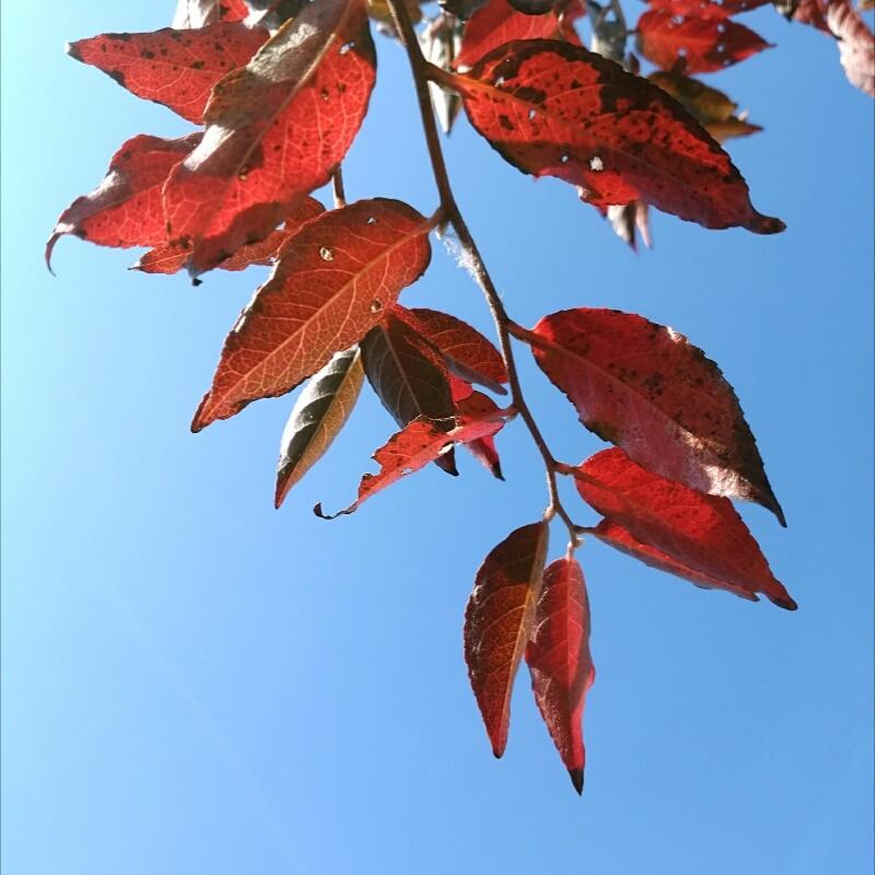 快晴:ヒメシャラ紅葉