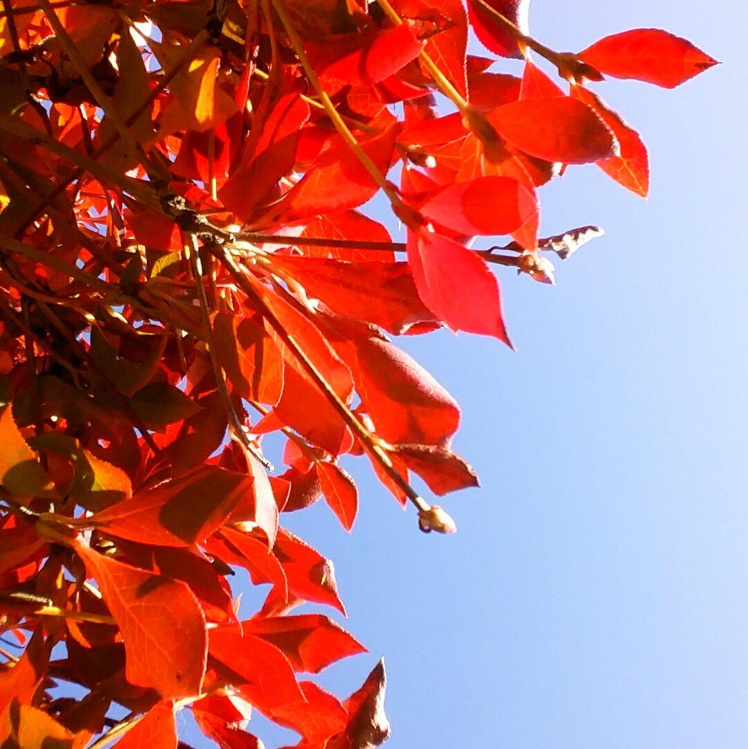 ドウダンツツジ紅葉