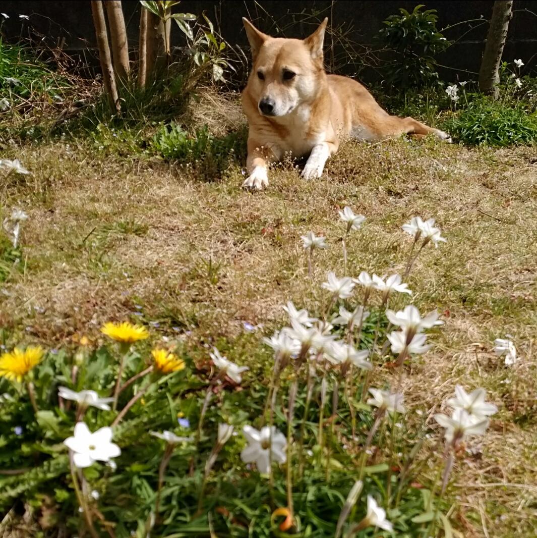 庭はハナニラの花盛り